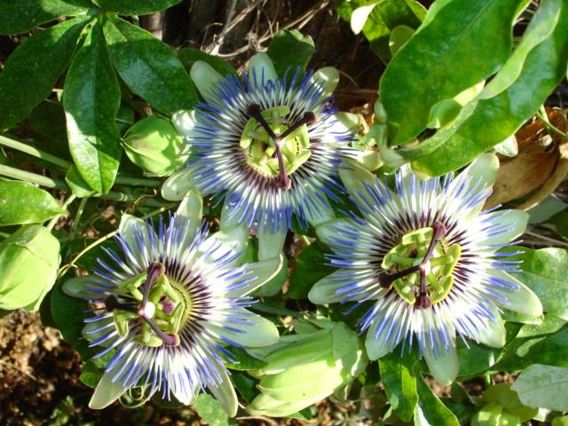"фото ""passiflora"" метки: природа, цветы"