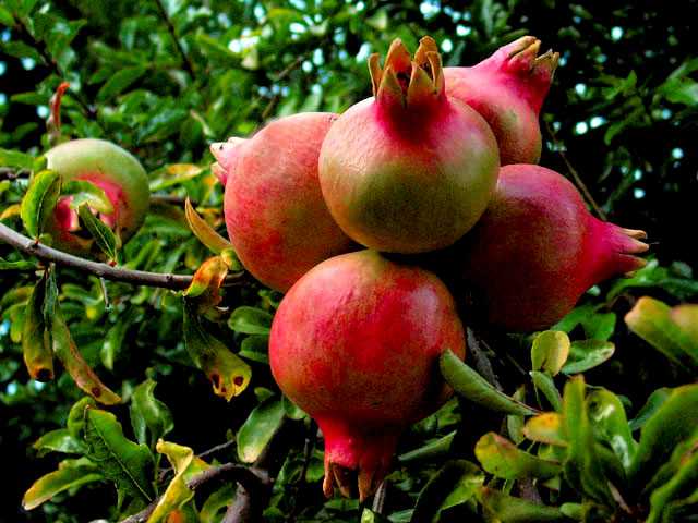 "photo ""pomegranates"" tags: misc., nature,"