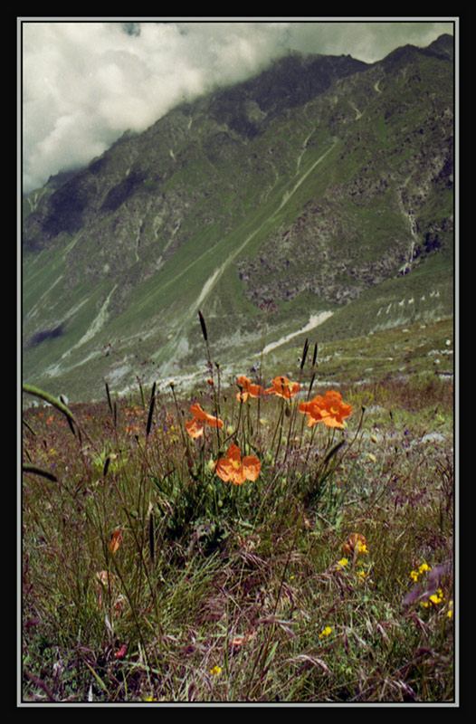 "photo ""Mountain poppies"" tags: landscape, nature, flowers, mountains"