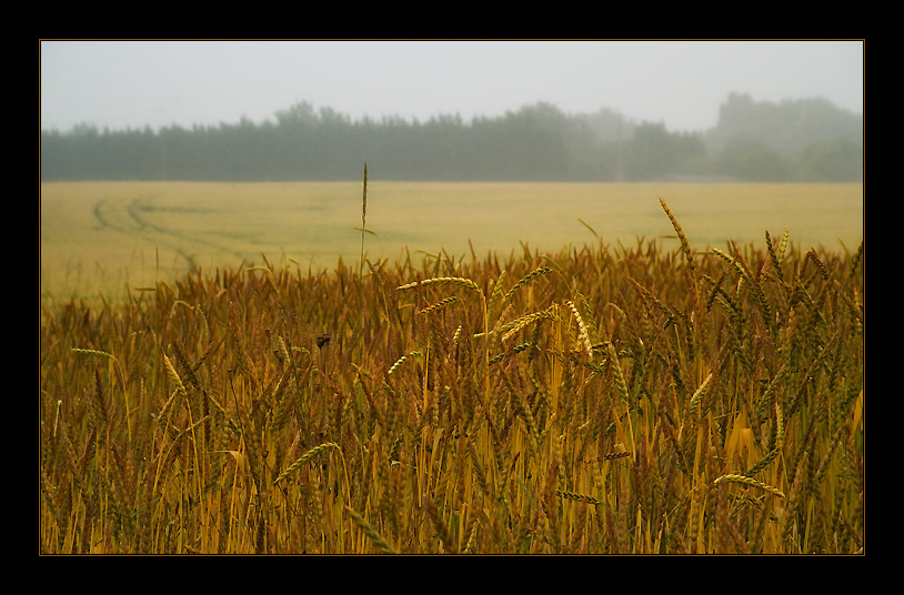 "photo ""Gold field"" tags: nature, landscape, flowers, summer"