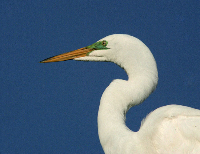 "photo ""great white heron"" tags: misc.,"