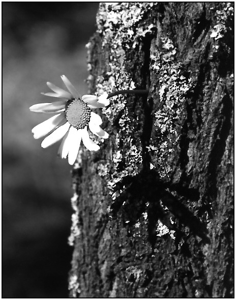 "photo ""About the camomile and the tree"" tags: black&white, still life,"