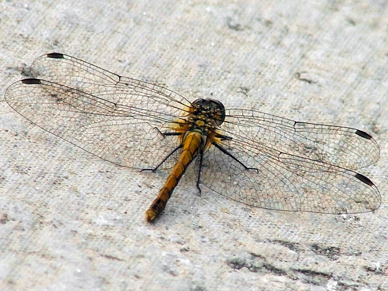 "photo ""Dragonfly"" tags: macro and close-up, nature, insect"