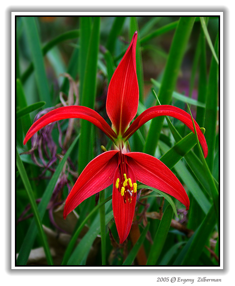 "photo ""Red Star"" tags: nature, flowers"