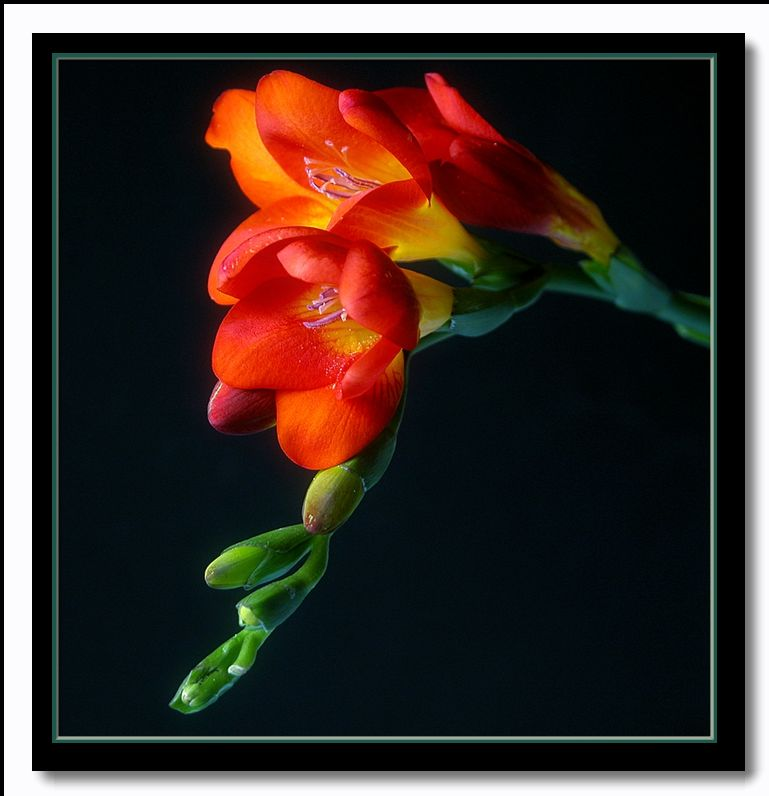 "photo ""fiery freesia"" tags: nature, flowers"
