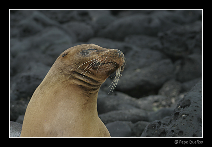 "photo ""Galapagos Sea Lion"" tags: nature, wild animals"