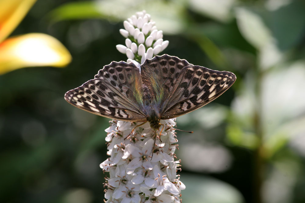 "photo ""butterfly on lisymachia"" tags: nature, insect"