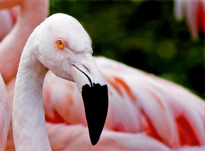 "photo ""Flamingo"" tags: nature, wild animals"