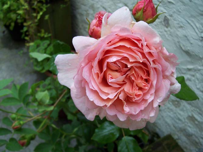 "photo ""Abraham Darby"" tags: macro and close-up, nature, flowers"