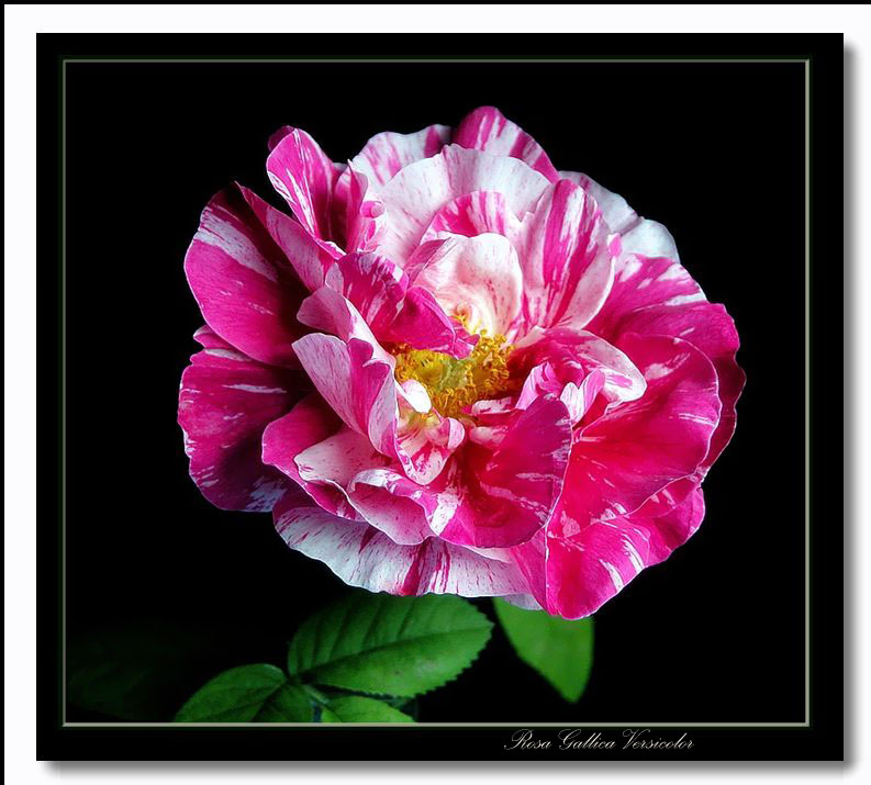 "photo ""rosa gallica versicolor"" tags: nature, flowers"