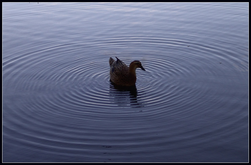 """photo """"Duck among rings"""" tags: nature, pets/farm animals"""