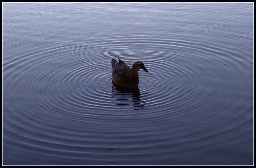 "фото ""Duck among rings"" метки: природа, домашние животные"