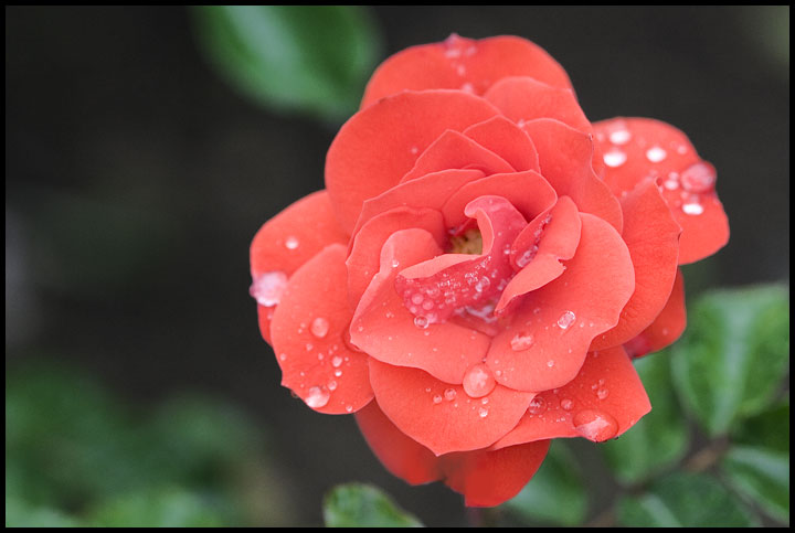"photo ""Rose after a rain"" tags: nature, macro and close-up, flowers"