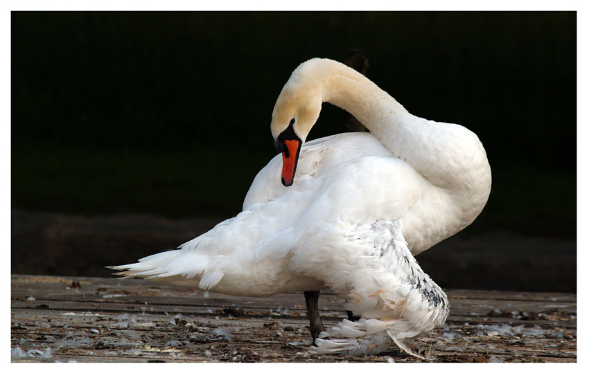 "photo ""swan"" tags: nature, wild animals"