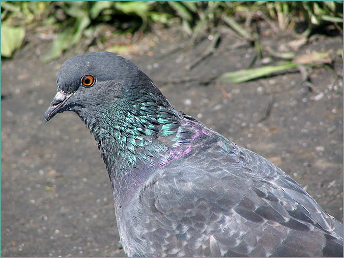 "photo ""Portrait of Mr. of the Pigeon"" tags: nature, wild animals"