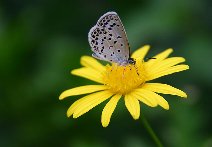 "photo ""Butterfly on Yellow Flower"" tags: nature, flowers, insect"