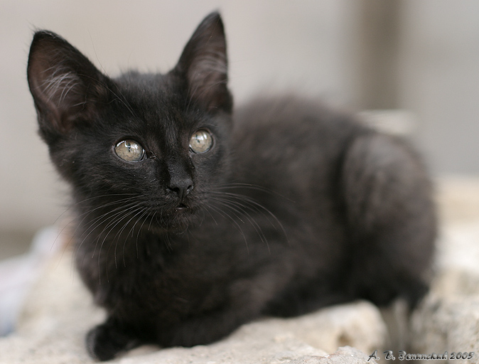 """фото """"Мечтатель (портрет:-) чёрного котёнка)."""" метки: природа, портрет, домашние животные"""