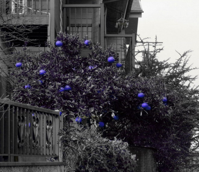 """photo """"Dark blue oranges in the country of miracles"""" tags: montage, nature, flowers"""