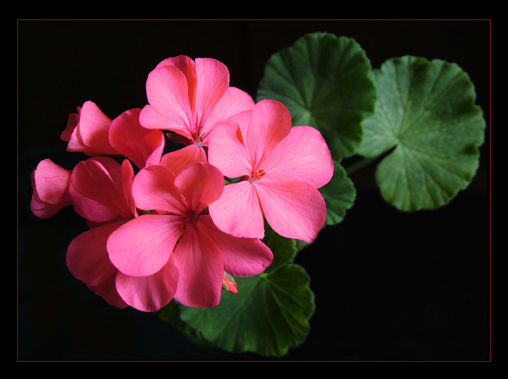 "photo ""Geranium"" tags: nature, flowers"