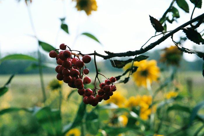 """фото """"Рябина"""" метки: природа, пейзаж, осень, цветы"""