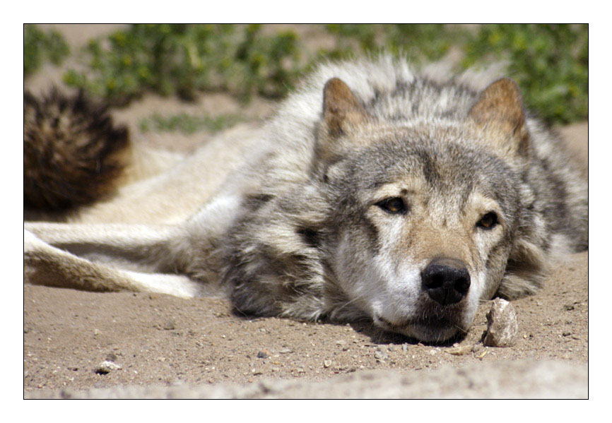 "photo ""The wolf dreams"" tags: nature, wild animals"