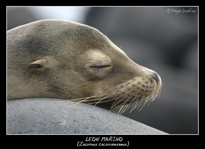"photo ""Sea Lion"" tags: nature, wild animals"