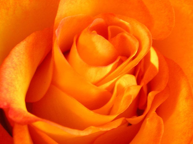 "photo ""Velvet"" tags: nature, flowers"