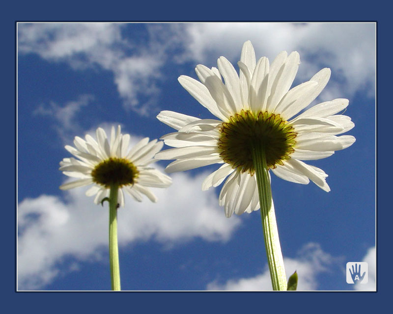 "photo ""Camomiles"" tags: macro and close-up, nature,"