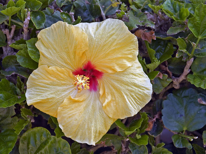 "photo ""Hawaiian Hibiscus"" tags: misc., nature, flowers"