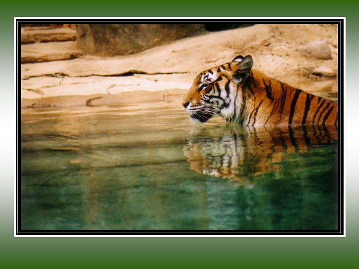 "photo ""Tiger in Water"" tags: nature, wild animals"