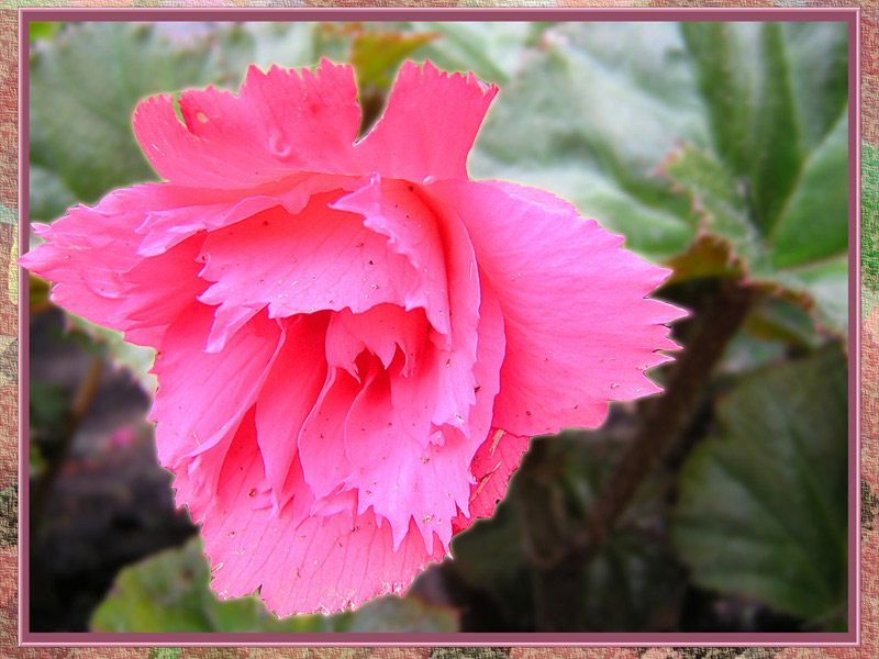 "photo ""PINK FLOWER"" tags: nature, macro and close-up, flowers"
