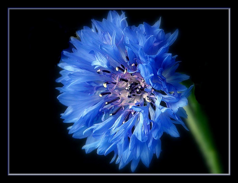 "photo ""summer cornflower"" tags: nature, flowers"