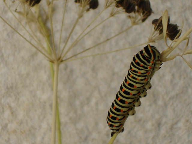 "photo ""catterpilar"" tags: nature, insect"