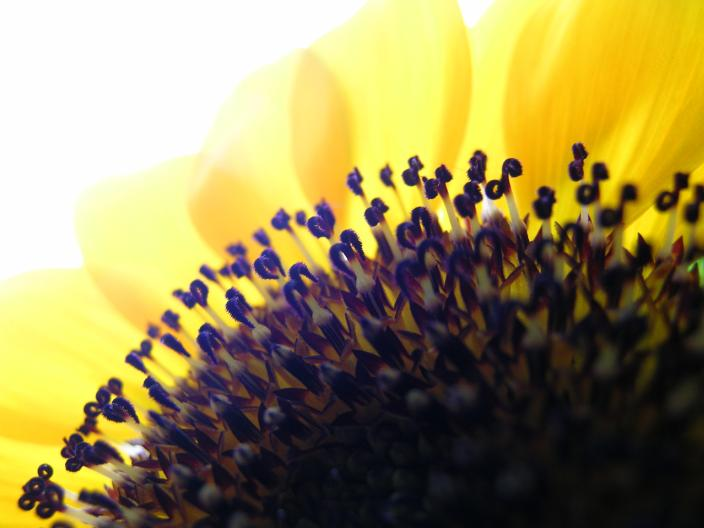 "photo ""sunflower"" tags: macro and close-up, nature, flowers"