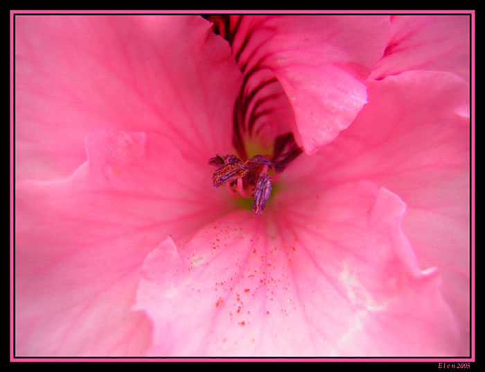 "photo ""pink#1"" tags: macro and close-up, nature, flowers"
