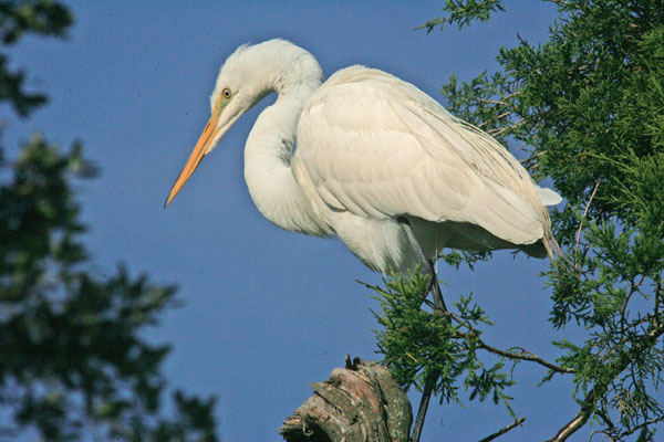 "photo ""great white heron"" tags: nature, wild animals"
