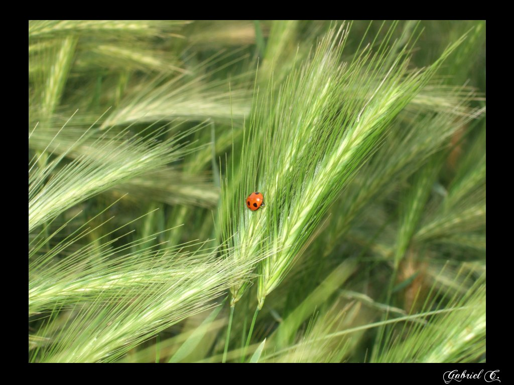 "photo ""coccinelle"" tags: macro and close-up, nature, insect"