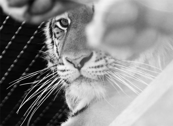 "photo ""Tiger"" tags: nature, black&white, wild animals"
