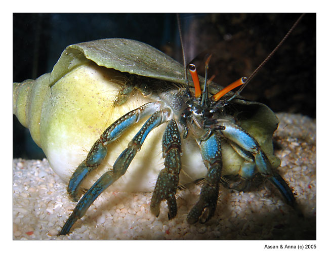 "photo ""Hermit crab"" tags: nature, macro and close-up, wild animals"