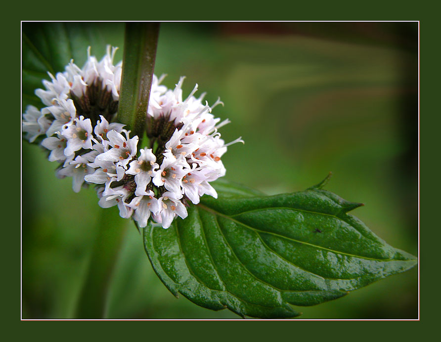 "photo ""Mint has blossomed"" tags: nature, macro and close-up, flowers"