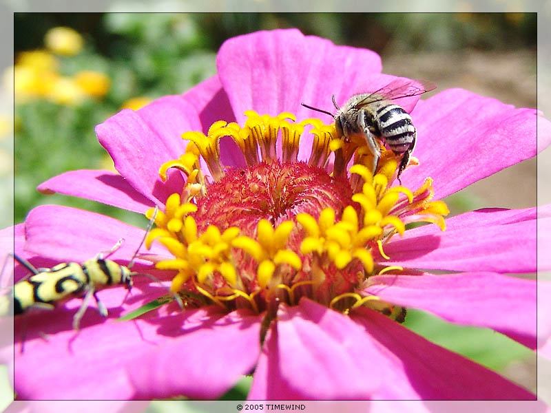 "photo ""... at the flower (1 of 3)"" tags: macro and close-up, nature, insect"