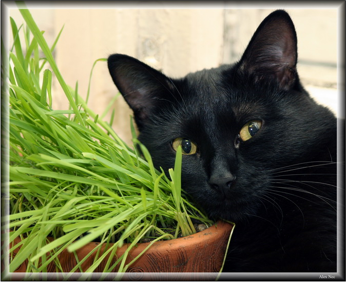"photo ""You Thought Cat Don't Like Grass, Don't You? ;-)"" tags: nature, humor, pets/farm animals"