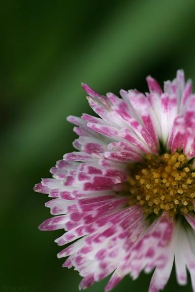 "photo ""Daisy"" tags: macro and close-up,"