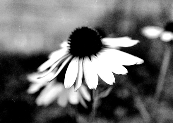 "photo ""Daisies"" tags: nature, black&white, flowers"