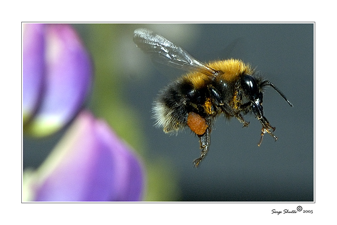 "photo ""The life of the bumblebee. With work - home."" tags: nature, macro and close-up, insect"
