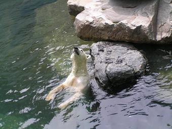 """фото """"Белый медведь"""" метки: путешествия, природа, Азия, дикие животные"""