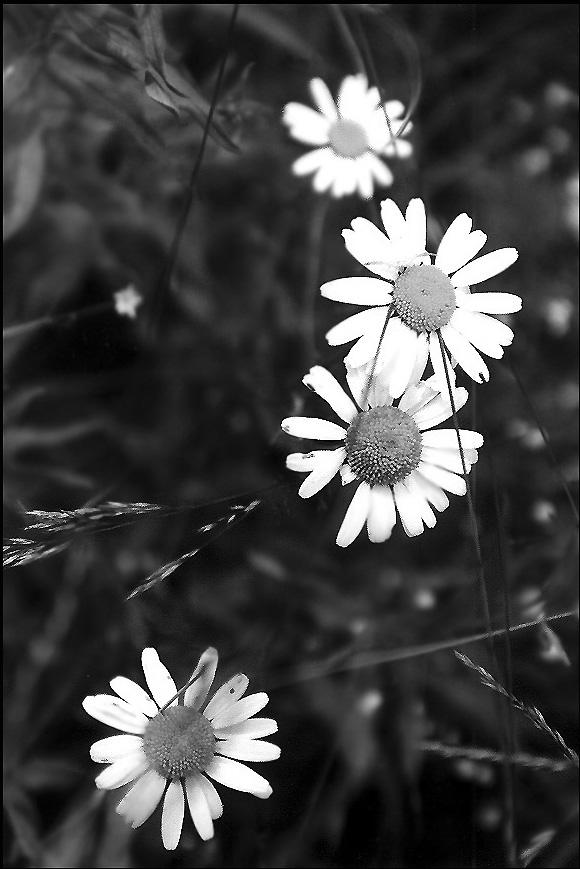 """фото """"Летние снежинки"""" метки: природа, цветы"""