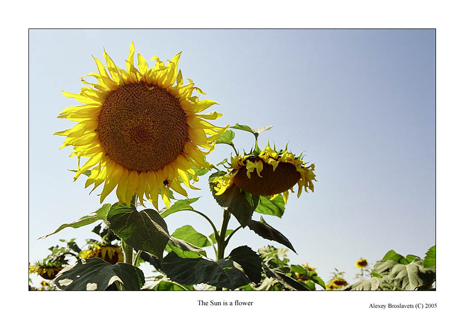 "photo ""The Sun is a flower"" tags: nature, flowers"
