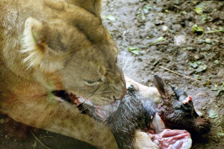 "photo ""Lion eating"" tags: nature, wild animals"