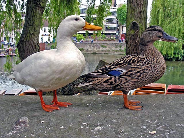 "photo ""Ducks with a smile."" tags: misc., nature, pets/farm animals"